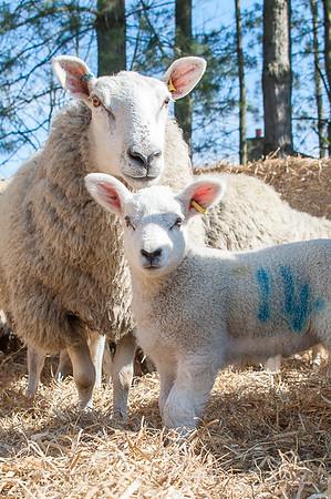 035_Lambing Sunday