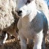 029_Lambing Sunday