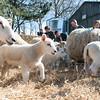 056_Lambing Sunday
