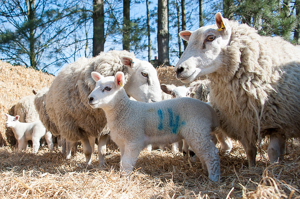 036_Lambing Sunday