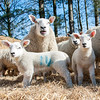 043_Lambing Sunday