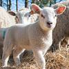 033_Lambing Sunday
