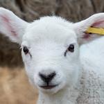 Lambing Sunday 2017