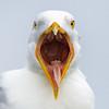 Herring Gull, Assateague