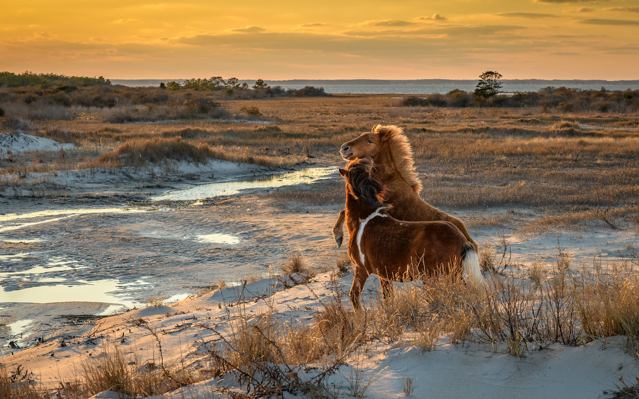 Horsing around. Tommy Thunderbolt and father Assateague Lightning - Assateague Island 2018