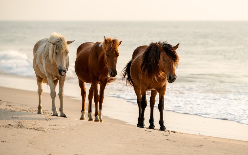 Sir Gruff,  Assateague's Phoenix  and Ninka