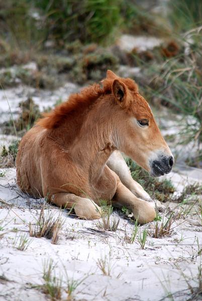 Brown Colt Horse Photograph