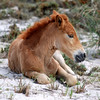 Brown Colt Horse Photograph