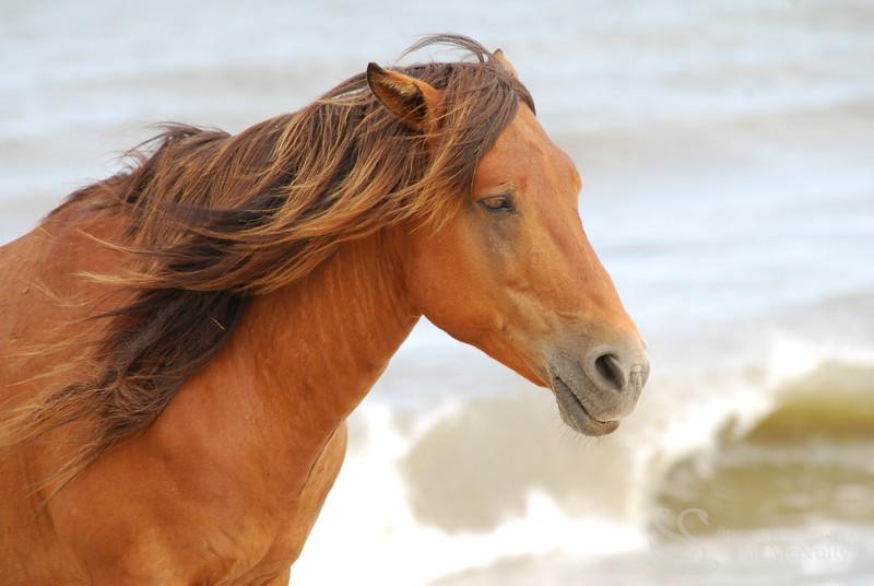 Assateague Wild Horse Picture