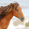 Assateague Wild Horse Picture