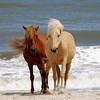 Chincoteague Wild Ponies Picture