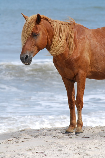 Chincoteague Wild Pony Photo