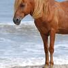 Chincoteague Wild Pony Photo
