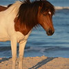 Assateague/Chincoteague Wild Pony Picture