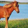 Assateague Wild Pony Picture