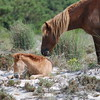 Brown Colt and Mother Horse Picture