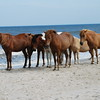 Chincoteague Wild Horses