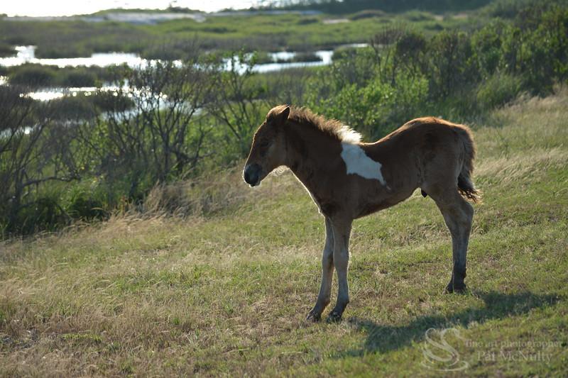 Assateague/Chincoteague Wild Pony Picture