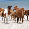 Chincoteague Wild Ponies Photograph