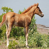 Brown Colt Horse Photo