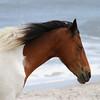 Chincoteague Wild Ponies Picture