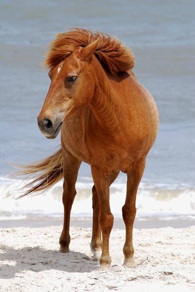 Assateague Wild Pony Photo