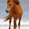 Assateague Wild Pony Photo