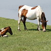 Mother Horse and Colt Picture