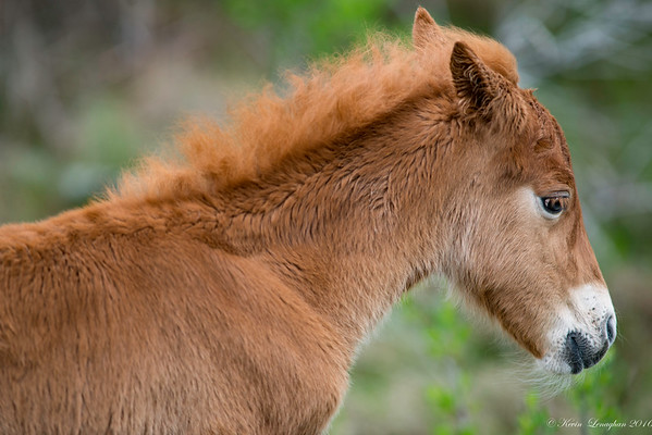 Asseatague Island Horses