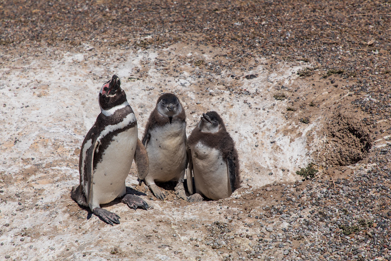 Father and Penguin Chicks at Punta Tombo Argentina
