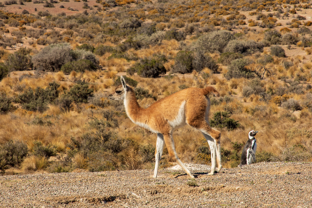 Large Mammal a Guanaco at Punta Tombo
