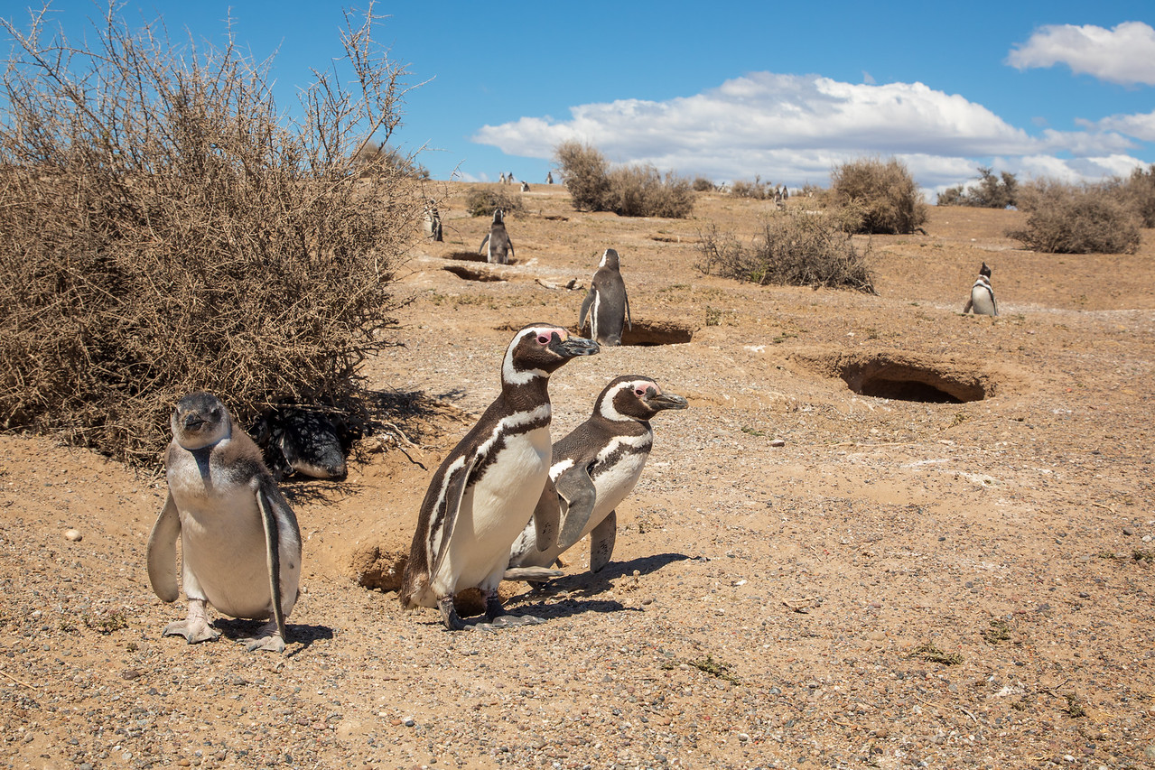 Penguins Marching to the Sea at Punta Tombo Argentina