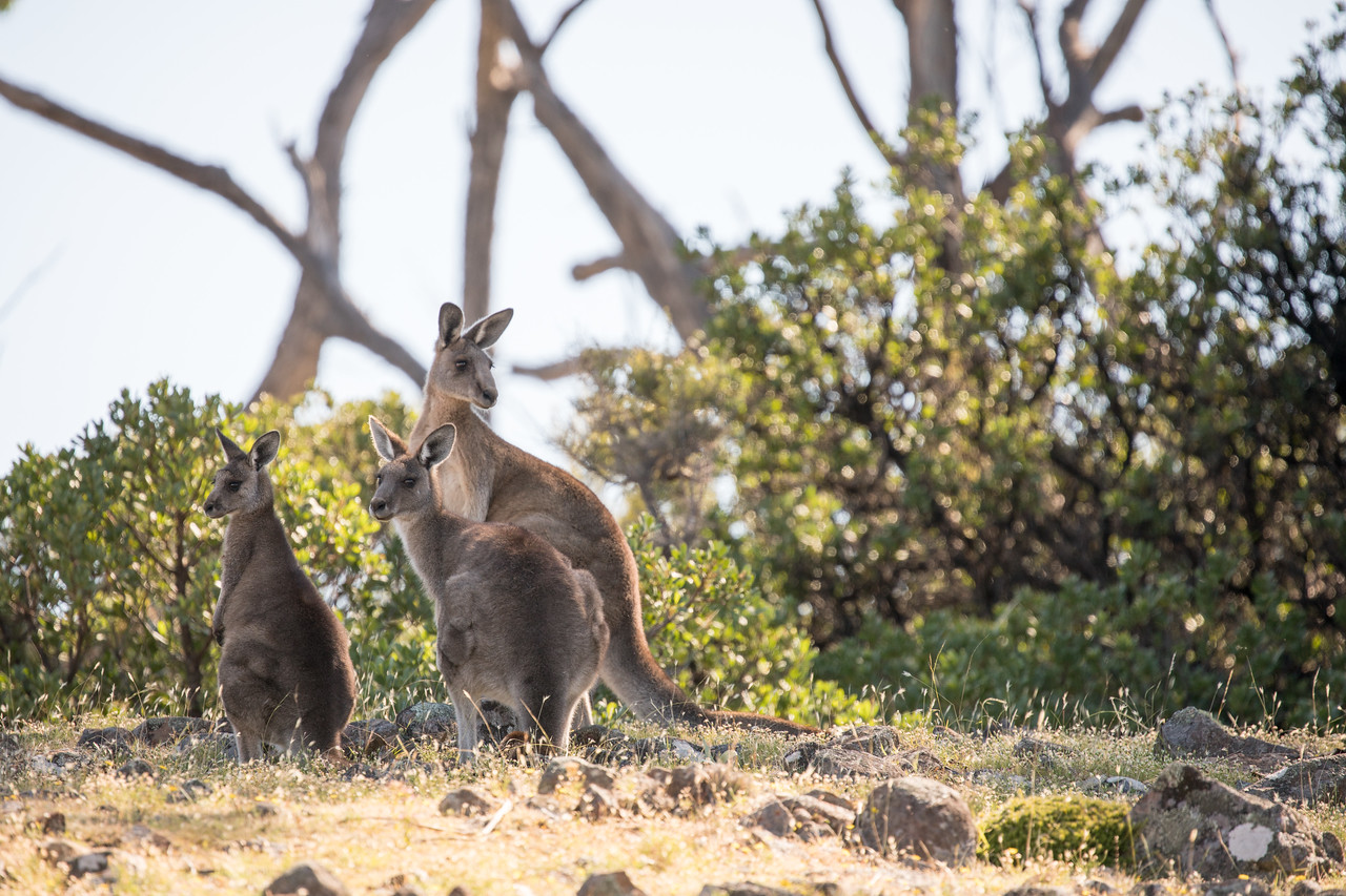 Kangaroos on Maria Island were but one of the exciting things we got to see on our Coral Expeditions cruise.