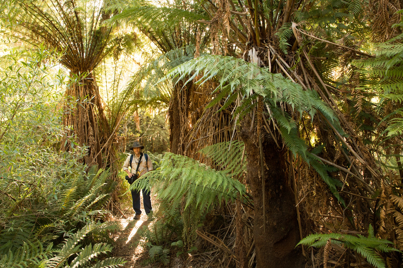 Expedition Leader Dave from Coral Expeditions in a Giant Fern Forest on near Canoe Bay on our expedition cruise