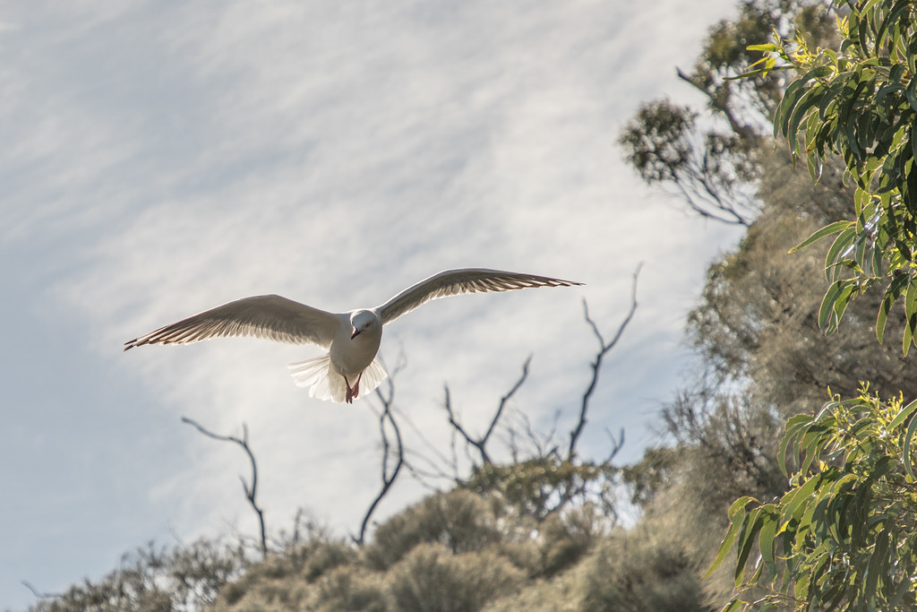 Seagull on Bruny Island