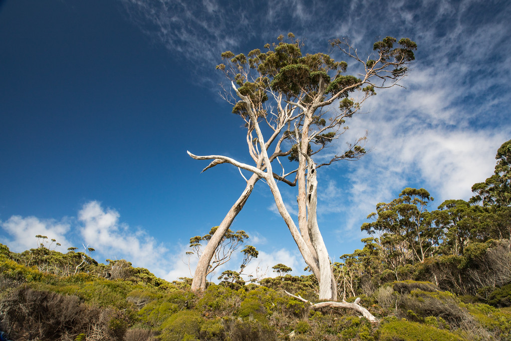 Magnificent Eucalyptus Trees near Fortescue Bay