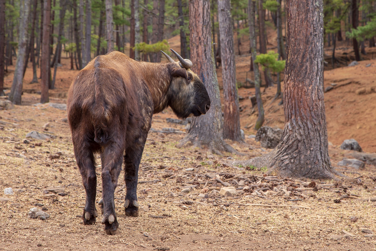 Picture of The National Animal of Bhutan, The Takin