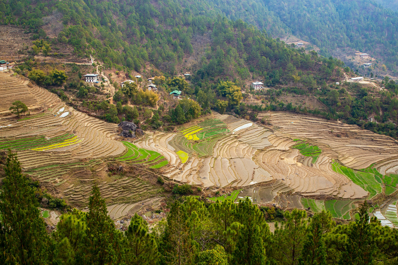 Bhutan Rice Terraces