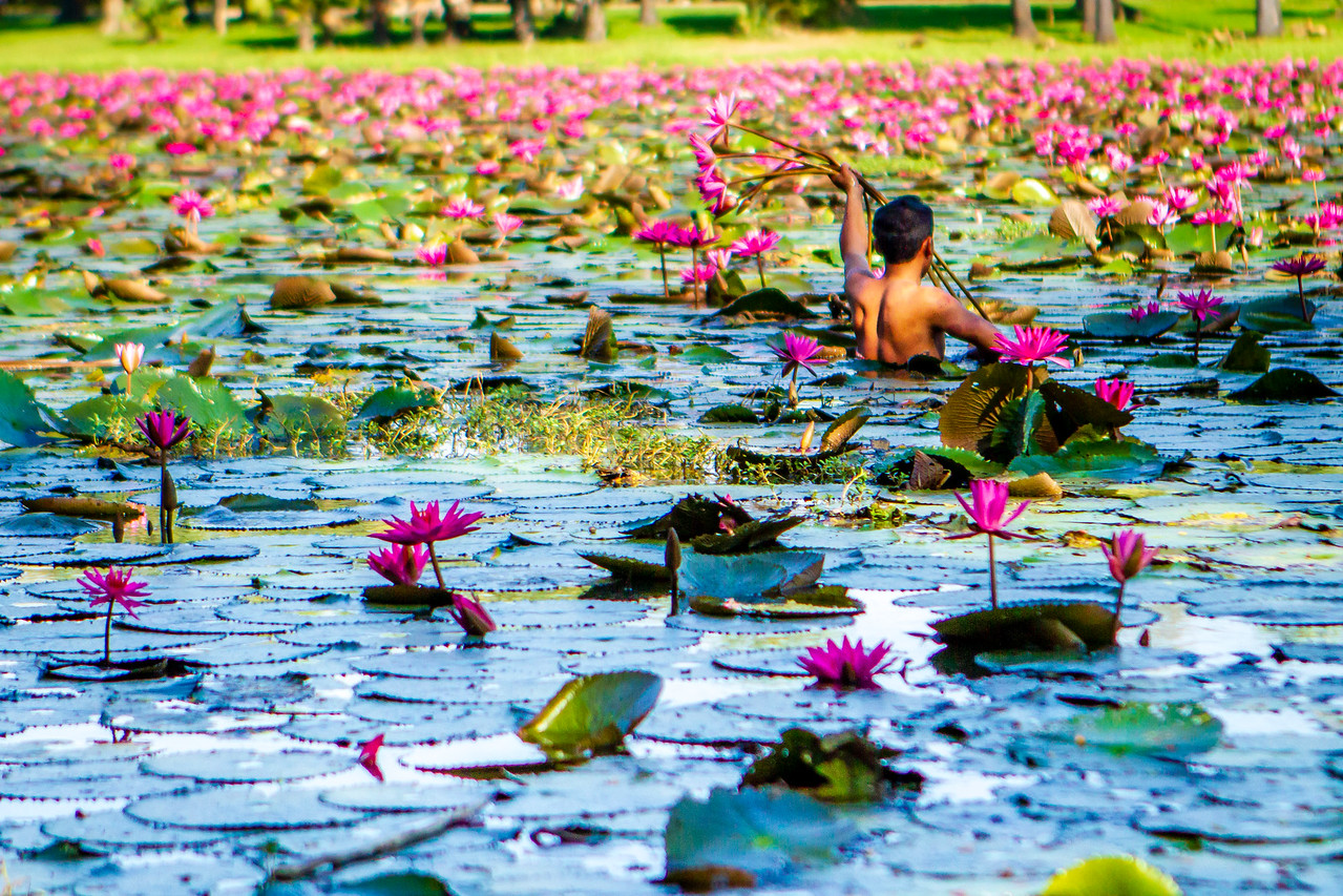 A Man Harvests Purple Lotus Flowers near Angkor Wat in Cambodia
