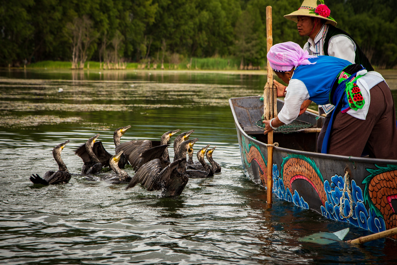 Fishing Cormorants Lining Up for Fish on Lake Erhai, Dali, Lijiang China
