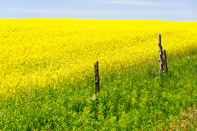 Fields of Golden