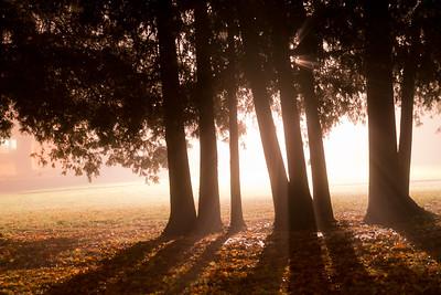 Cedars In White Light