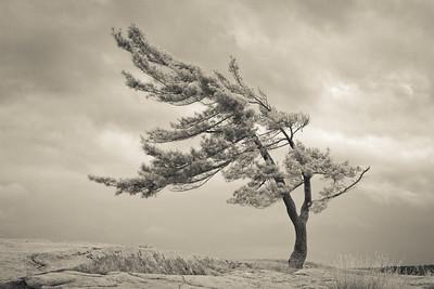 Lone Georgian Pine