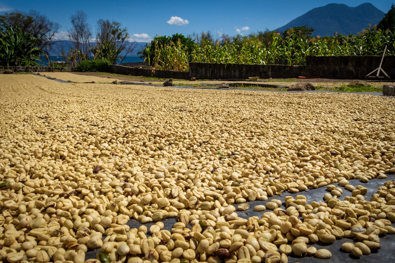 Guatemalan Coffee Drying in the Fields Around San Pedro