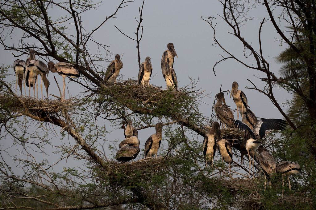 Picture of Nesting Storks at Keoladeo Ghana National Park in Bharatpur, India