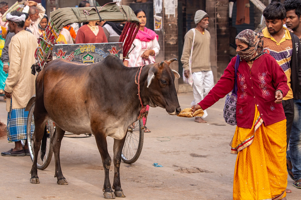 Image of Offering to a Holy Cow in Varanasi