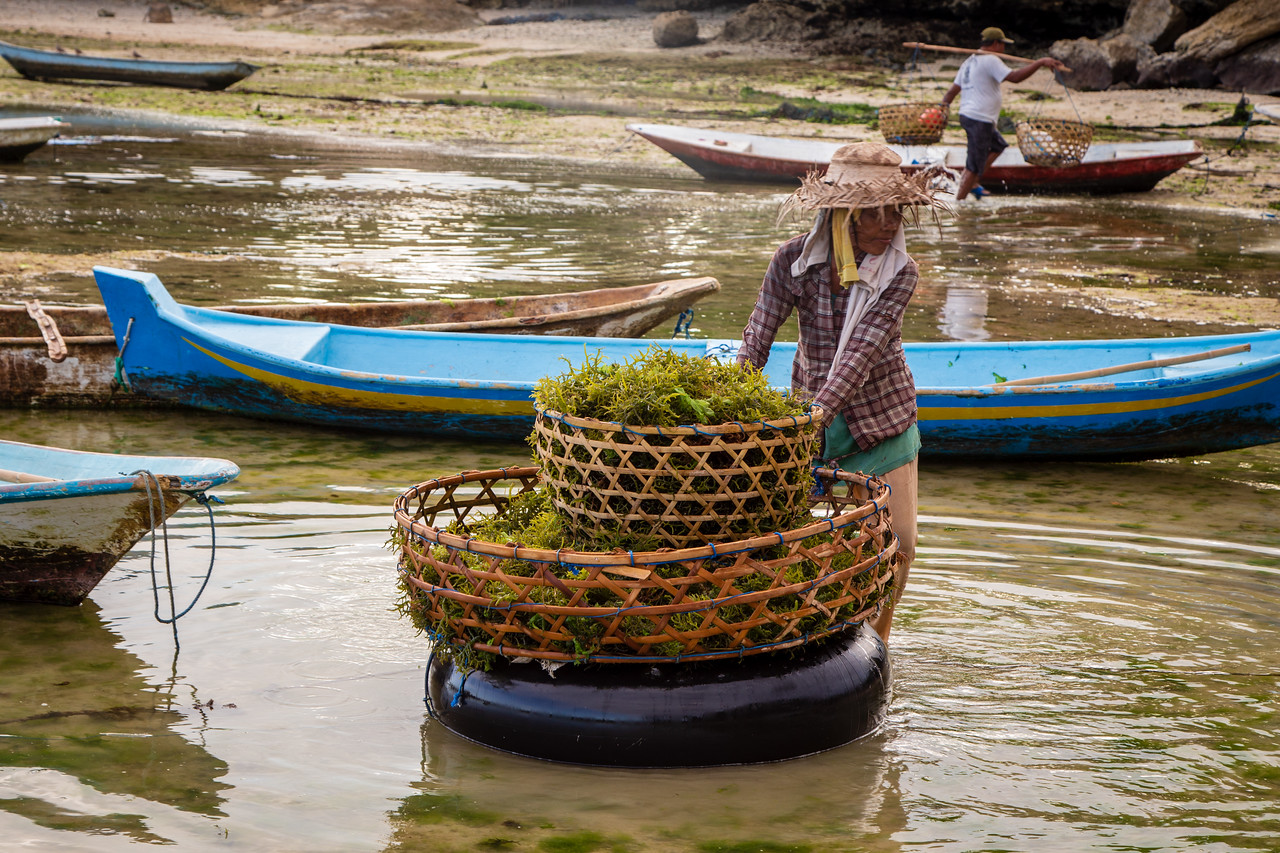 Basket of Seaweed Harvested on Lembongan Island, Indonesia