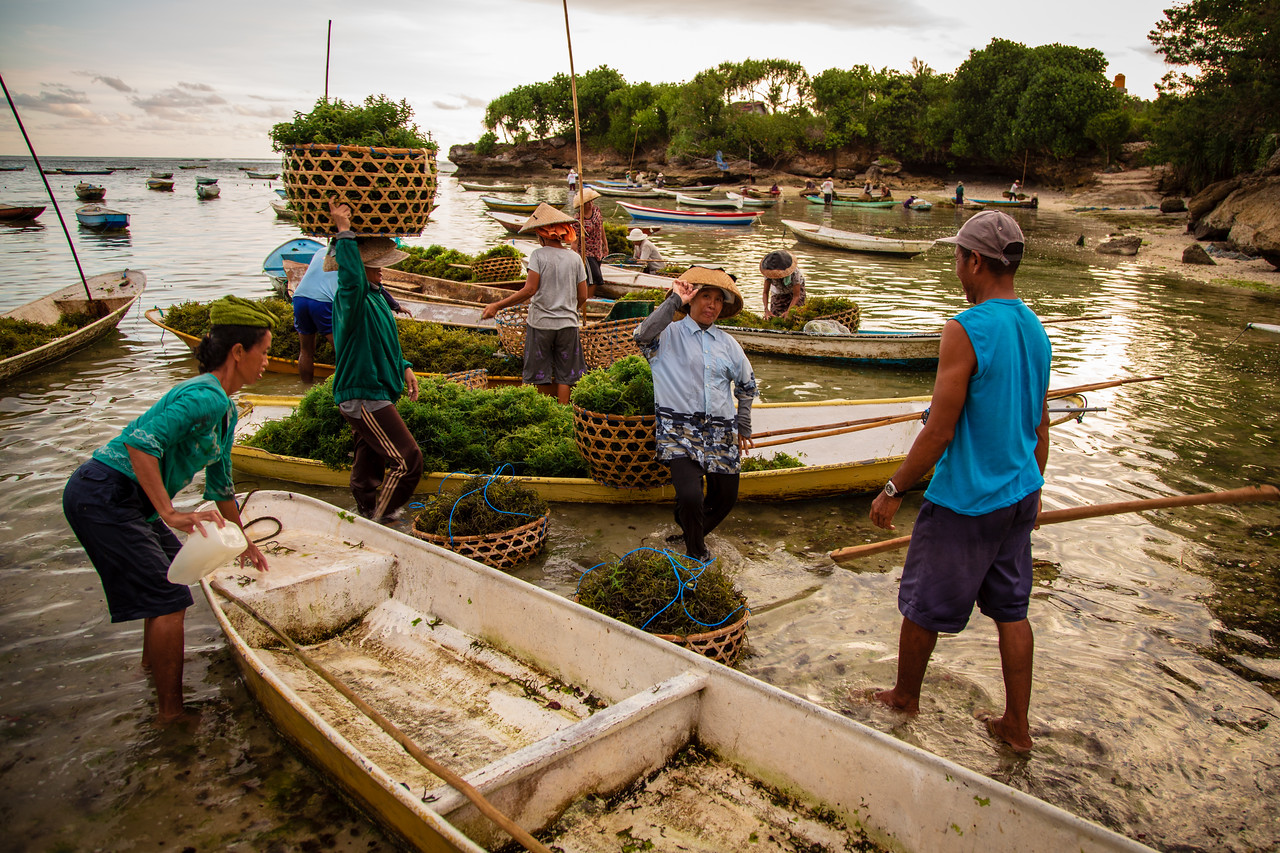 Seaweed Farming on Lembongan Island, Indonesia near Bali