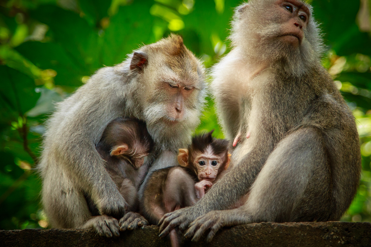 A Family of Monkeys at Monkey Forest in Bali