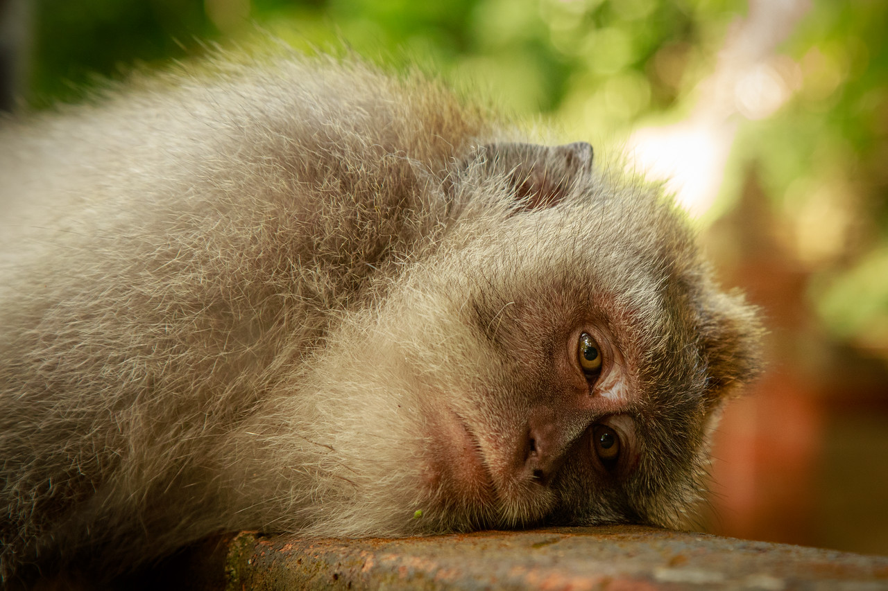 A Bored Monkey at Monkey Forest in Ubud